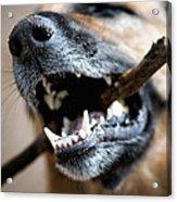 Dog Nose And Teeth Acrylic Print