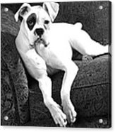 Dog On Couch Acrylic Print