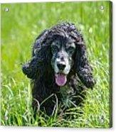 Dog On The Grass Acrylic Print