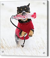 Dog Playing In Snow Acrylic Print by Paws on the Run Photography