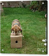 Dog Playing Acrylic Print by Mark Taylor