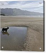 Dog Playing On Sandy Beach In Water Acrylic Print by Keenpress