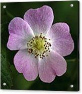 Dog Rose (rosa Canina) Acrylic Print
