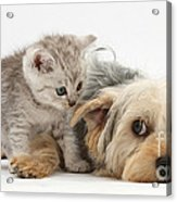 Dog Surrendering To Kitten Acrylic Print