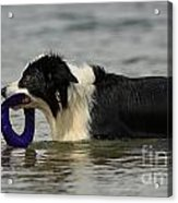 Dog To The Rescue Acrylic Print