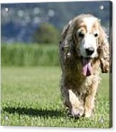 Dog Walking On The Green Grass Acrylic Print