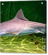 Dogfish Shark In Aquarium Acrylic Print