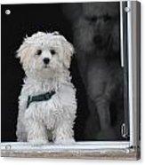 Doggie In The Window Acrylic Print