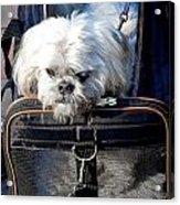 Doggie To Go Acrylic Print