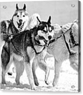 Dogs Leashed To A Chariot Acrylic Print
