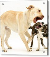 Dogs Playing Acrylic Print by Mark Taylor