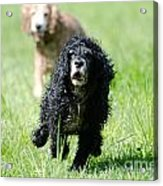 Dogs Running On The Green Field Acrylic Print