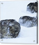 Dogs Sleep In Blizzard On Frozen Ocean Acrylic Print by Gordon Wiltsie