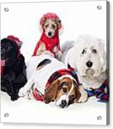 Dogs Wearing Winter Accessories Acrylic Print