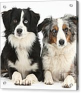Dogs With Different-colored Eyes Acrylic Print