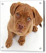 Dogue De Bordeaux Puppy Acrylic Print