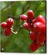 Dogwood Berries Acrylic Print by Beverly Hammond