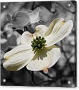 Dogwood Black And White Acrylic Print
