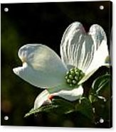 Dogwood Bloom At Sunrise Acrylic Print