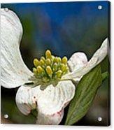 Dogwood Bloom Acrylic Print