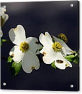 Dogwood Blossom - Beelightful Acrylic Print