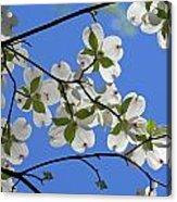 Dogwood Blossoms 2 Acrylic Print