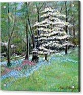 Dogwood In Springtime Acrylic Print by Max Mckenzie