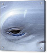 Dolphin Eye One Acrylic Print