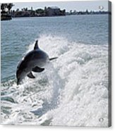 Dolphin Playing Acrylic Print