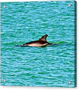 Dolphin Swimming Acrylic Print