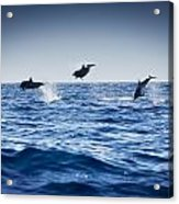 Dolphins Playing In The Ocean Acrylic Print