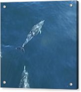 Dolphins Swimming In Bay With Sun Acrylic Print