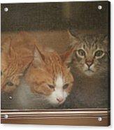 Domestic Cat Acrylic Print