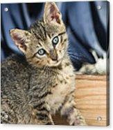 Domestic Cat Felis Catus Kitten, Germany Acrylic Print