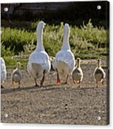 Domestic Geese With Goslings Acrylic Print