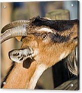 Domestic Goat Acrylic Print