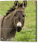 Donkey - The Beast Of Burden Acrylic Print