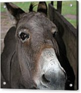 Donkey Eyes Acrylic Print