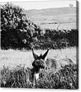 Donkey In The West Of Ireland Acrylic Print