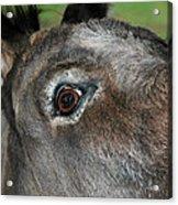 Donkey Stink Eye Acrylic Print