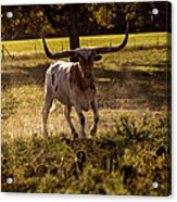 Don't Mess With Texas ..... Long Horns That Is  Acrylic Print
