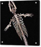Dorudon Skeleton Acrylic Print