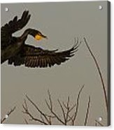 Double Crested Cormorant Coming Acrylic Print