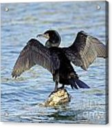 Double Crested Cormorant Wings Spread Acrylic Print