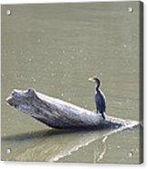 Double-crester Cormorant Acrylic Print by Jack R Brock