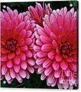 Double Dahlia Acrylic Print