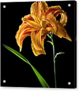 Double Day Lily Acrylic Print