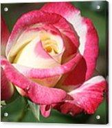 Double Delight Rose Acrylic Print