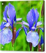 Double Iris Acrylic Print