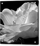 Double Late Angelique Tulip Acrylic Print